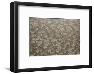 A Flock of Surf Scoter Ducks, Melanitta Perspicillata, in the Mist