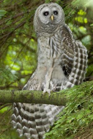 A Juvenile Barred Owl, Strix Varia, Perches on a Tree Branch and Stretches its Wing by Paul Colangelo
