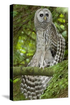 A Juvenile Barred Owl, Strix Varia, Perches on a Tree Branch and Stretches its Wing