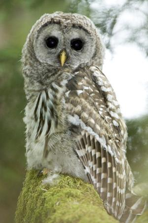 A Juvenile Barred Owl, Strix Varia, Perches on a Tree Branch by Paul Colangelo