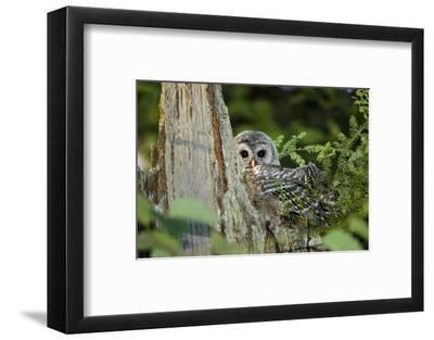A Juvenile Barred Owl, Strix Varia, Rests on Top of a Dead Tree