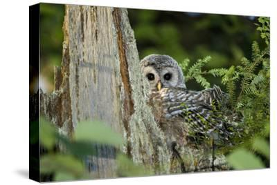 A Juvenile Barred Owl, Strix Varia, Rests on Top of a Dead Tree