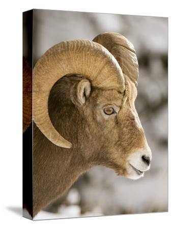 A Male Bighorn Sheep, Ovis Canadensis, in the Rocky Mountains