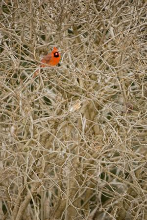 A Male Northern Cardinal, Cardinalis Cardinalis, Perches in a Shrub by Paul Colangelo