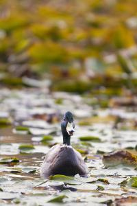 A Mallard, Anas Platyrhynchos, Floats Among Lily Pads by Paul Colangelo