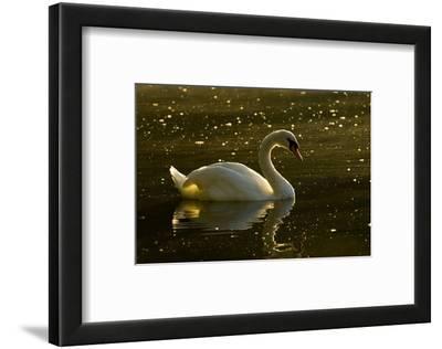 A Mute Swan, Cygnus Olor, Floats on a Lake Among Feathers