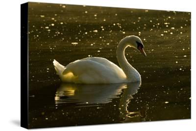 A Mute Swan, Cygnus Olor, Floats on a Lake Among Feathers