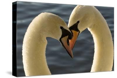 A Pair of Mute Swans, Cygnus Olor, Engage in a Courtship Display