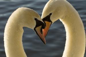 A Pair of Mute Swans, Cygnus Olor, Engage in a Courtship Display by Paul Colangelo