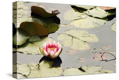 A Pink Water Lily Flower Blooms Among Lily Pads