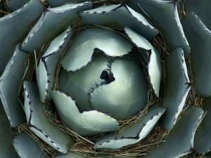 Agave, Northern California, Usa by Paul Colangelo