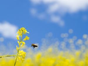 Bee and Field Mustard, Brassica Campestris, Lafayette Reservoir, Lafayette, California, Usa by Paul Colangelo