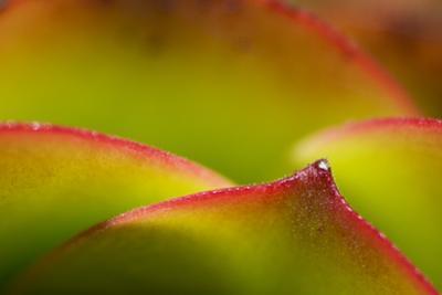 Close Up of a Succulent Plant by Paul Colangelo