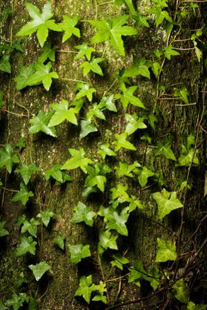 English Ivy, Hedera Helix, Grows on a Western Red Cedar, Thuja Plicata by Paul Colangelo