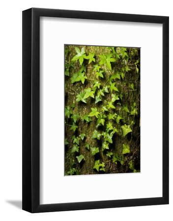 English Ivy, Hedera Helix, Grows on a Western Red Cedar, Thuja Plicata