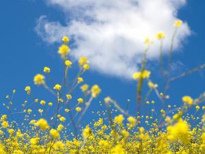 Field Mustard, Brassica Campestris, Lafayette Reservoir, Lafayette, California, Usa by Paul Colangelo