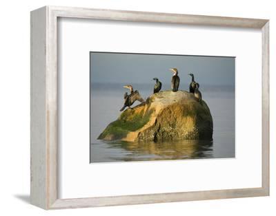 Five Double-Crested Cormorants, Phalacrocorax Auritus, on a Rock