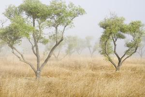 Fog Drifts Among Olive Trees in a Grassy Field by Paul Colangelo