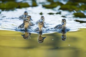 Mallard Ducklings, Anas Platyrhynchos, in the Water by Paul Colangelo