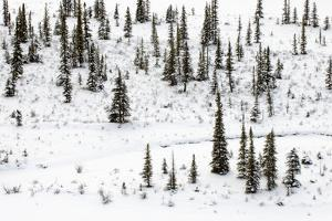 Snow-Covered Trees on a Small Island in the Athabasca River by Paul Colangelo