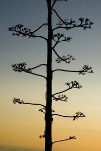 The Flowers of a Centuryplant, Agave Americana by Paul Colangelo
