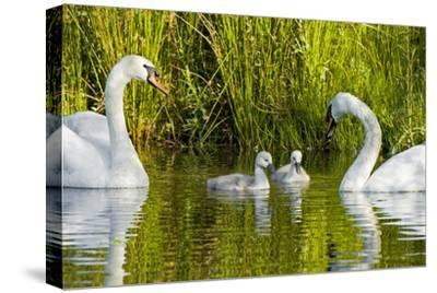 Two Mute Swans, Cygnus Olor, Look over their Two Cygnets