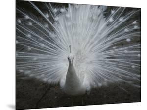 A Beautiful Albino Peacock (Pavo Species) Walks Toward the Camera by Paul Damien