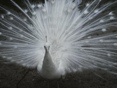 A Beautiful Albino Peacock (Pavo Species) Walks Toward the Camera