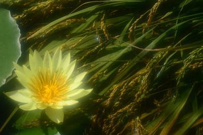 A Yellow Water Lily Flower Next to a Green Lily Pad and Grasses
