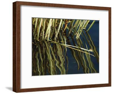 Aquatic Grasses Reflected on the Surface of Deep Blue Water