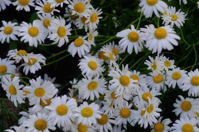 Close-Up of Daisies Blooming in Spring