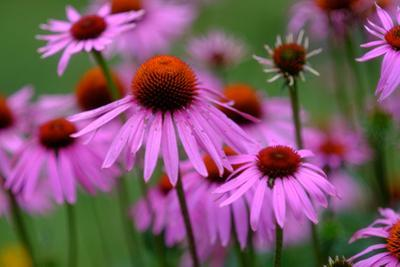 Close-Up of Pink Cone Flowers