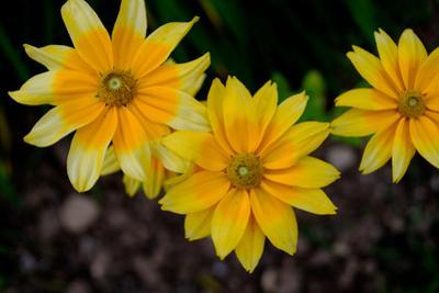 Close-Up of Yellow Cone Flowers