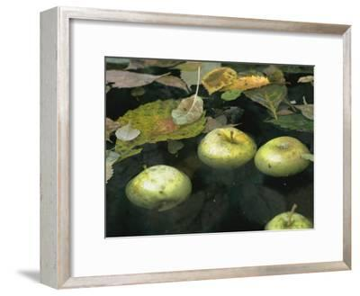 Four Green Apples Floating in a Pond in the English Walled Garden