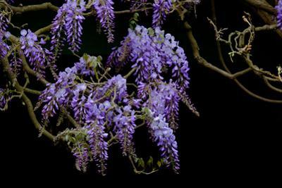 Lavender Colored Wisteria in Monet's Garden in Giverny