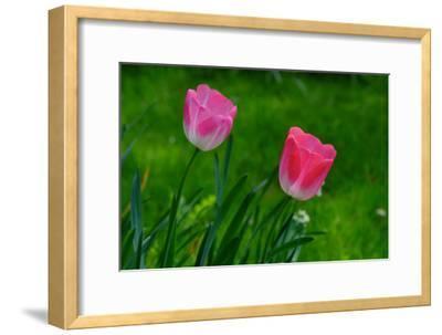 Pink Tulips in Monet's Garden in Giverny