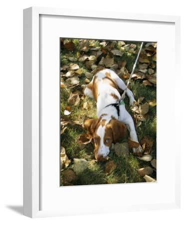 Portrait of a Brittany Spaniel Puppy Lying Among Fallen Autumn Leaves