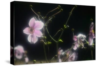 Soft Pink Petals and Gently Curved Stems Against a Black Background