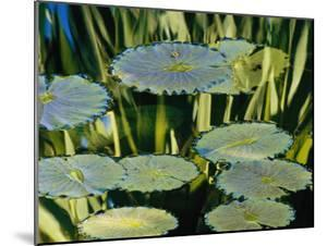 Water Lily Pads on the Surface of a Chicago Botanic Garden Pool by Paul Damien