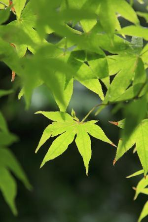 Bright Green Japanese Maple Trees in their Spring Foliage at the Ryouan-Ji Temple, Kyoto, Japan