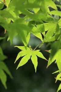 Bright Green Japanese Maple Trees in their Spring Foliage at the Ryouan-Ji Temple, Kyoto, Japan by Paul Dymond