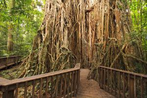 The Giant Fig Tree on the Atherton Tablelands Is a Popular Tourist Destination in Queensland by Paul Dymond