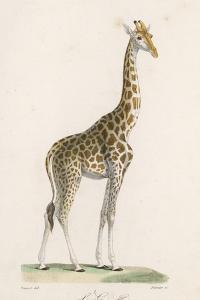 Giraffe by Paul Fournier