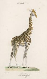 Giraffe by Paul Fournier