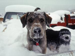 Dogs Covered in Snow, Crested Butte, CO by Paul Gallaher