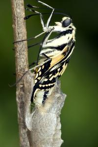 Common Swallowtail Chrysalis by Paul Harcourt Davies