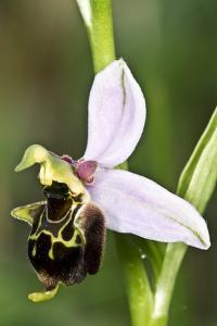 Late Spider Orchid (Ophrys Fuciflora) by Paul Harcourt Davies