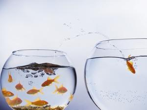 Goldfish Jumping into Different Bowl by Paul Hardy