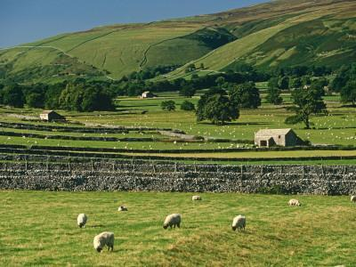 Field Walls of Littondale, Yorkshire Dales National Park, England