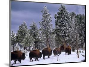 Idaho, Yellowstone National Park, Bison are the Largest Mammals in Yellowstone National Park, USA by Paul Harris